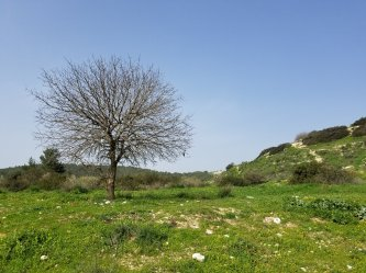 A Elah tree in the Elah Valley
